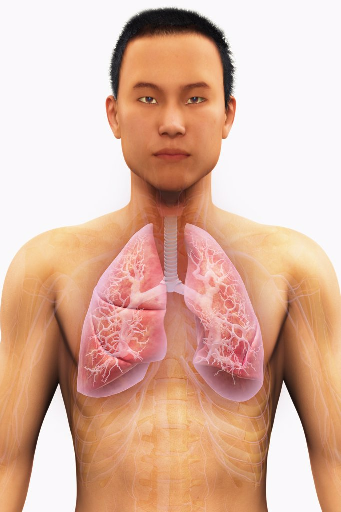 Stock Photo: 4378-2027 Anatomical model of Asian ethnicity showing lungs and respiratory system.
