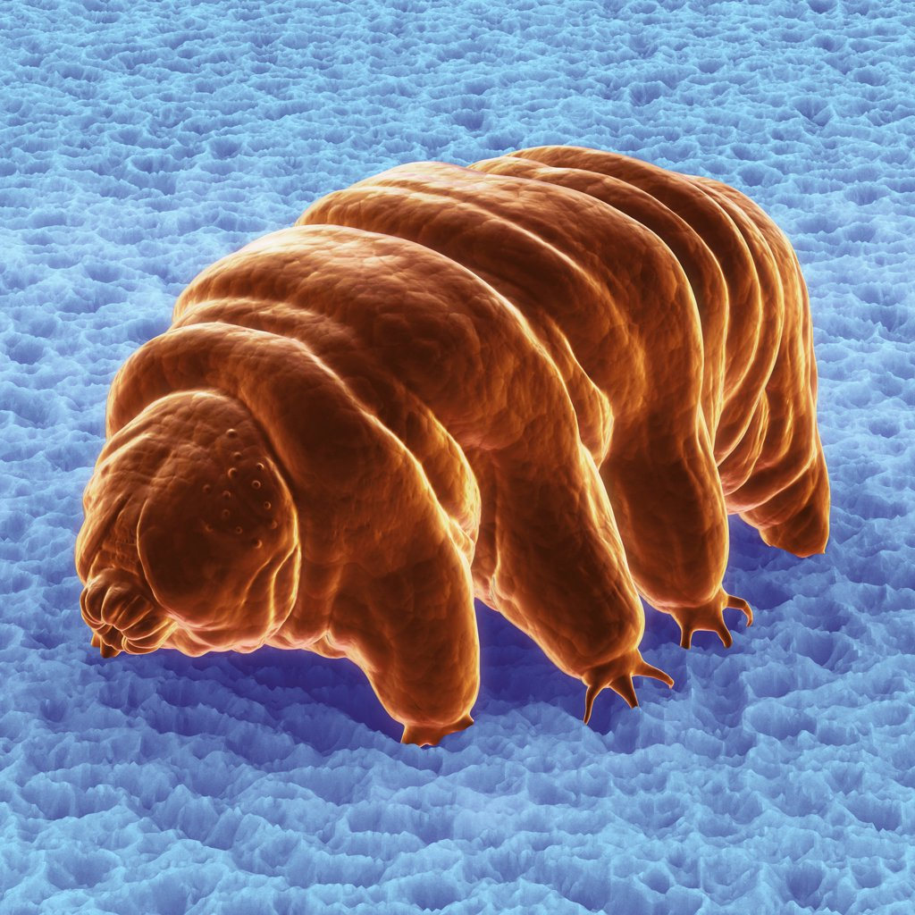 Diagram of a Water Bear (Tardigardes) which is a polyextremophile. : Stock Photo