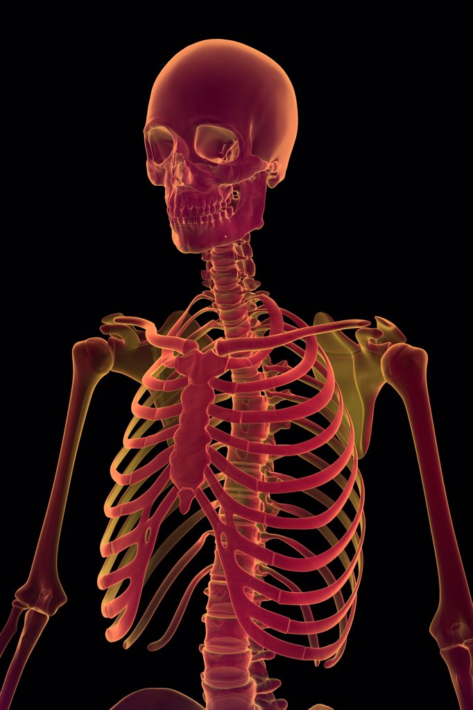 Stock Photo: 4378-255 Three-quarter stylized view of the bones the upper body.