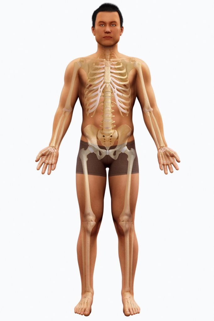 Stock Photo: 4378-2639 Anatomical model showing the skeletal system.