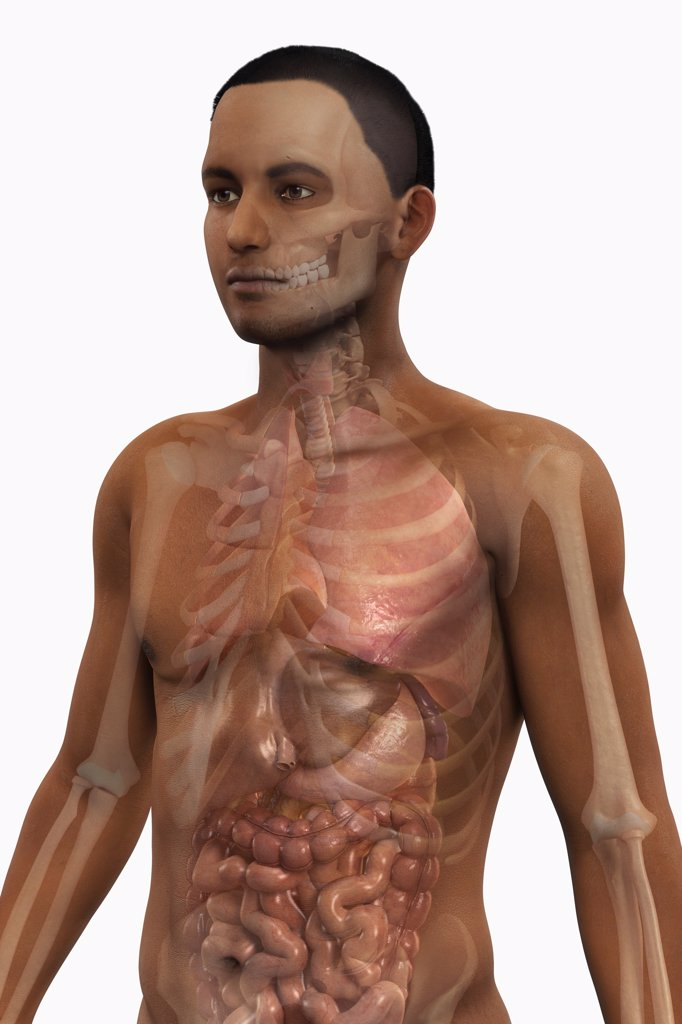 Stock Photo: 4378-2937 Waist up view of a male figure of African ethnicity with the internal organs and bones visible.