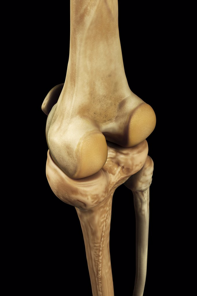 Stock Photo: 4378-2965 Model showing the human knee joint and its connecting bones.