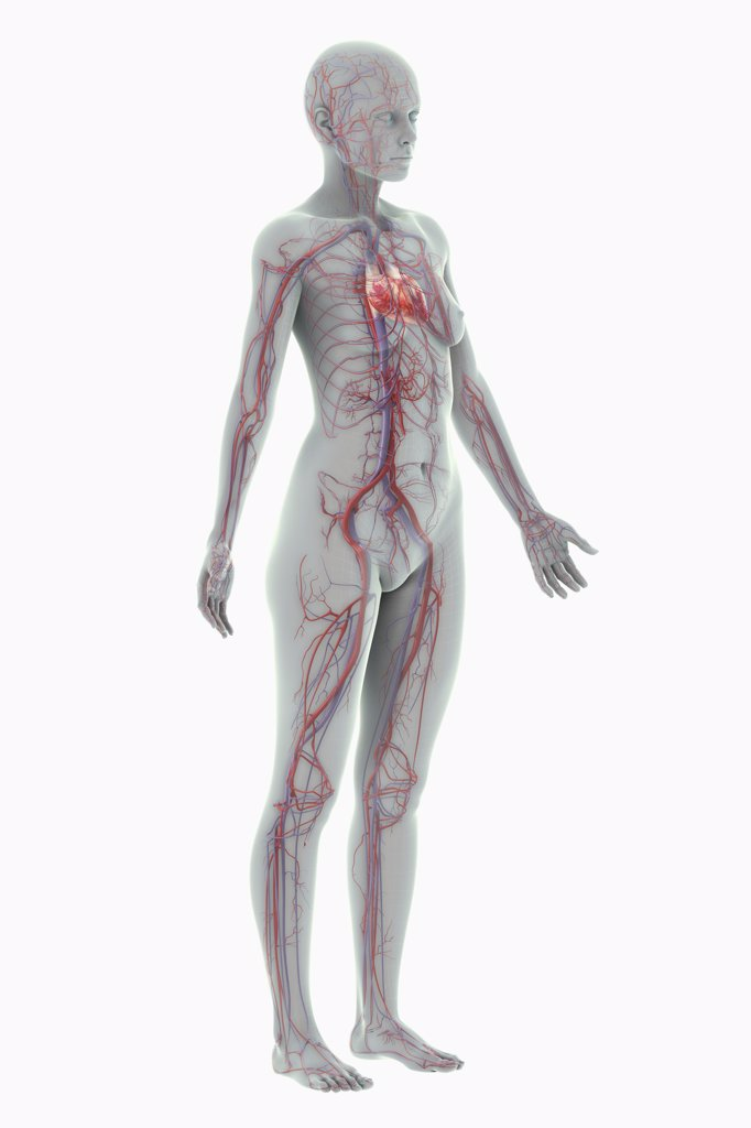 A stylized female figure with a wire frame appearance with the heart and blood vessels of the cardiovascular system present. : Stock Photo