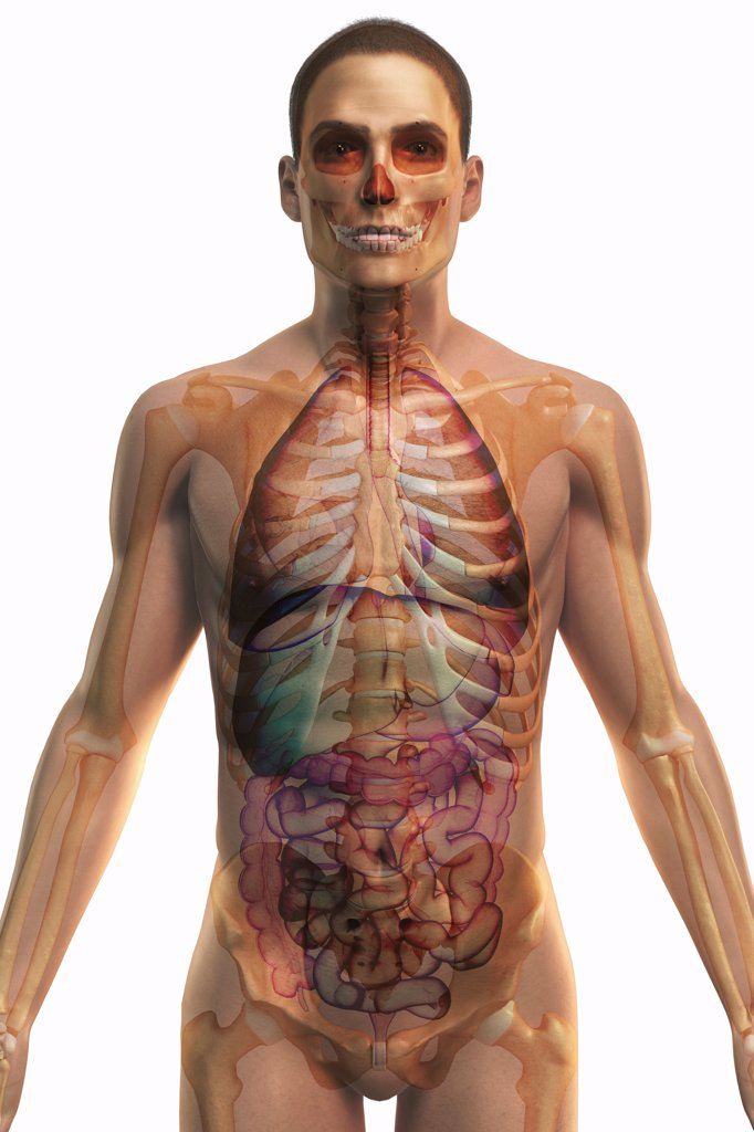 Stylized front view of the bones and internal organs of the upper body. : Stock Photo