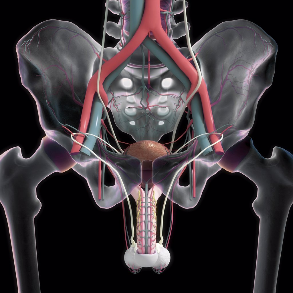 Stock Photo: 4378-311 Front view of the bones of the pelvic region , lower urinary system and its blood supply.