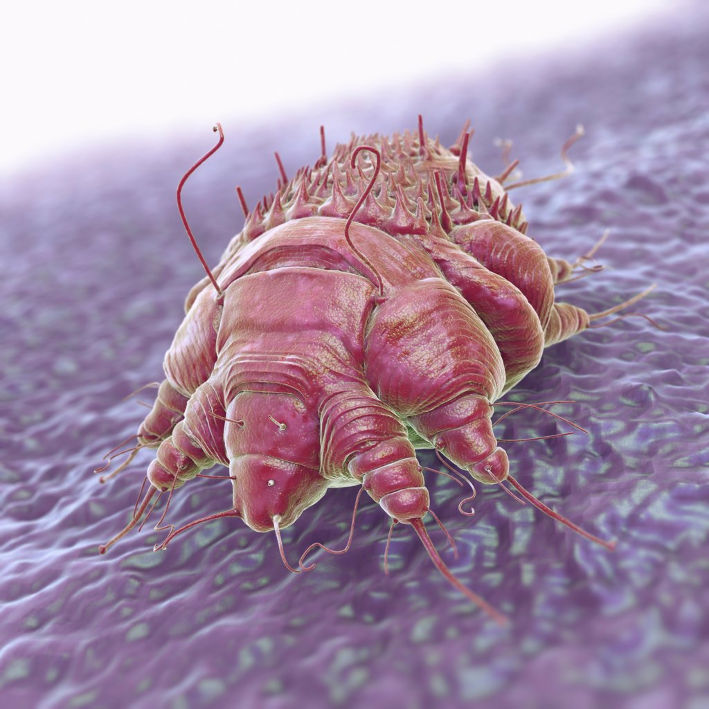 Stock Photo: 4378-3141 A single Sarcoptes scabiei mite which is the cause of the contagious skin infection Scabies. The mite burrows under the host's skin, causing intense allergic itching.