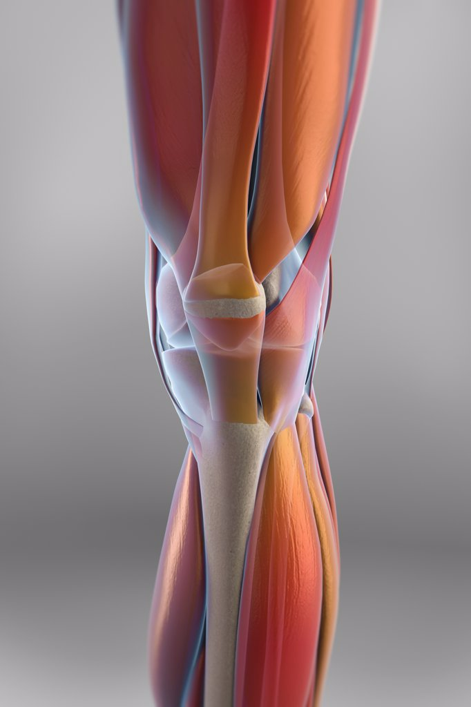 Stock Photo: 4378-3299 The muscles of the left knee which, are transparent revealing the skeletal structures beneath. The bones have an X-ray appearance.