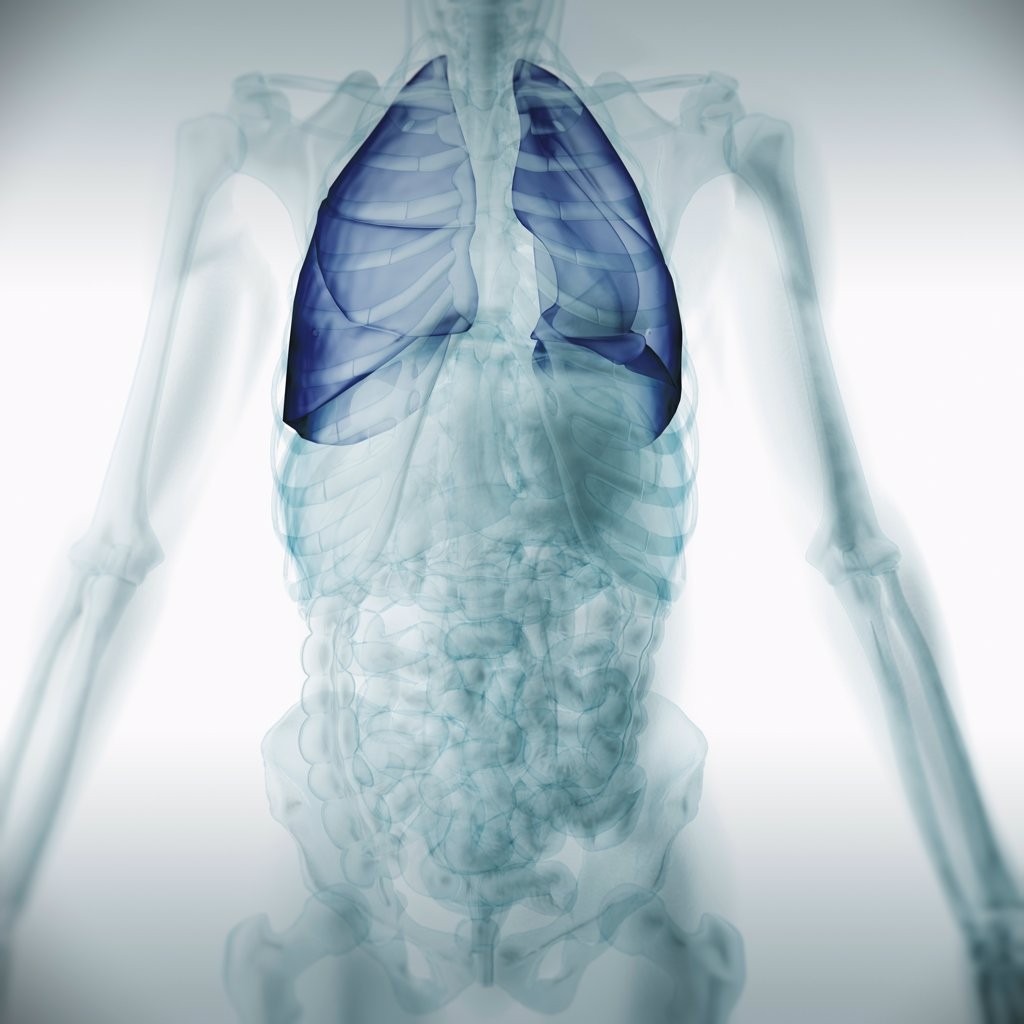 Stock Photo: 4378-3360 Front view of the chest anatomy with the lungs highlighted.