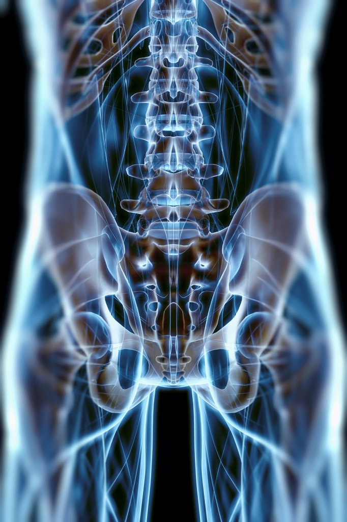 A transparent skin reveals the muscles and skeletal structures of the lower back and pelvic region viewed from the rear. : Stock Photo