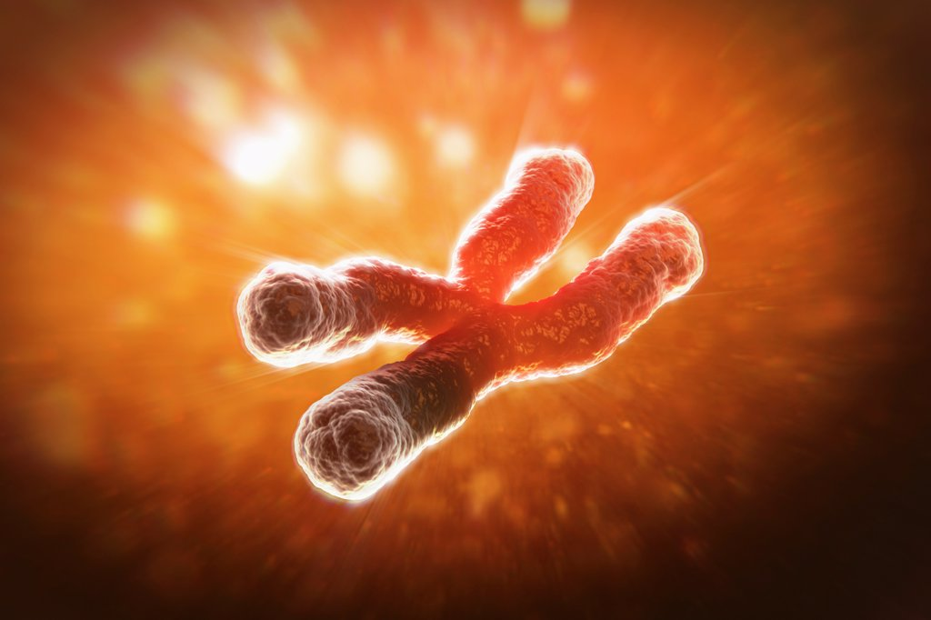 Stock Photo: 4378-3420 A telomere is a region of the DNA sequence at the end of a chromosome. Their function is to protect the ends of the chromosome from degradating. Here they are visible as highlights at the tips of the chromosomes.