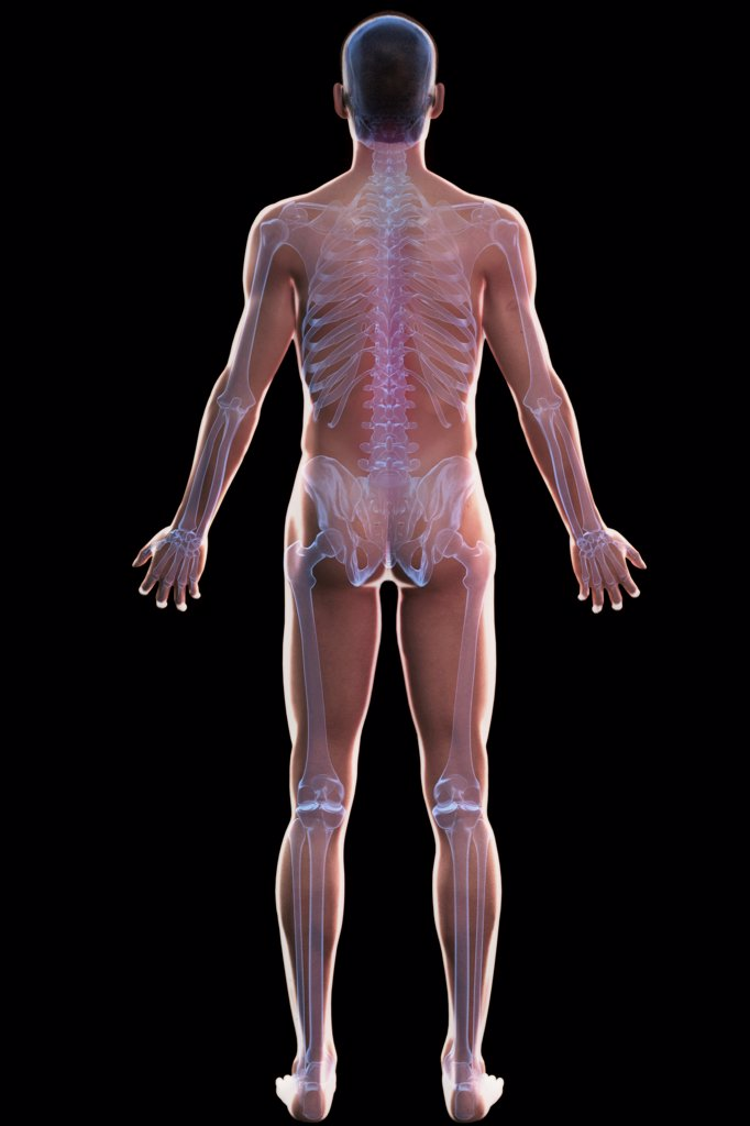 Stock Photo: 4378-349 Full body view of the male human skeleton.