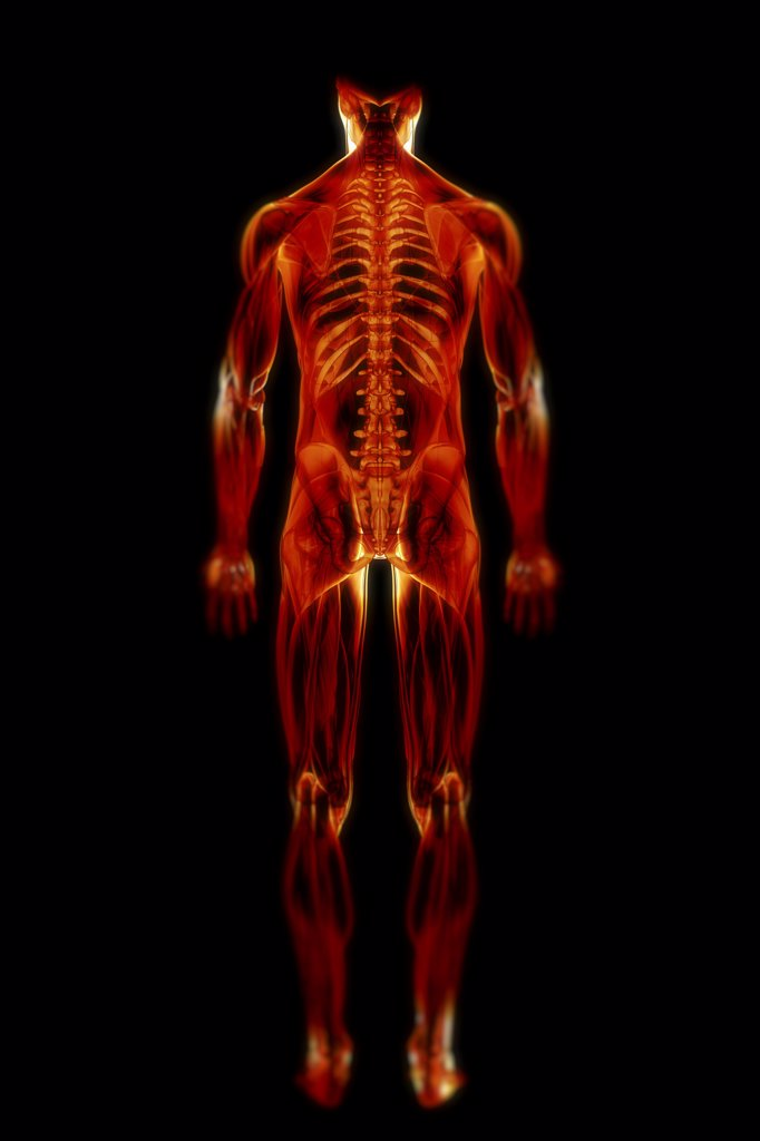 A transparent skin reveals the muscles and skeletal structures of the body viewed from the rear. : Stock Photo