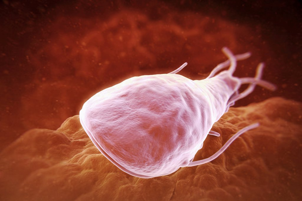 Stock Photo: 4378-3693 Giardia lamblia is a flagellated protozoan parasite. It colonizes and reproduces in the small intestine and causes giardiasis.