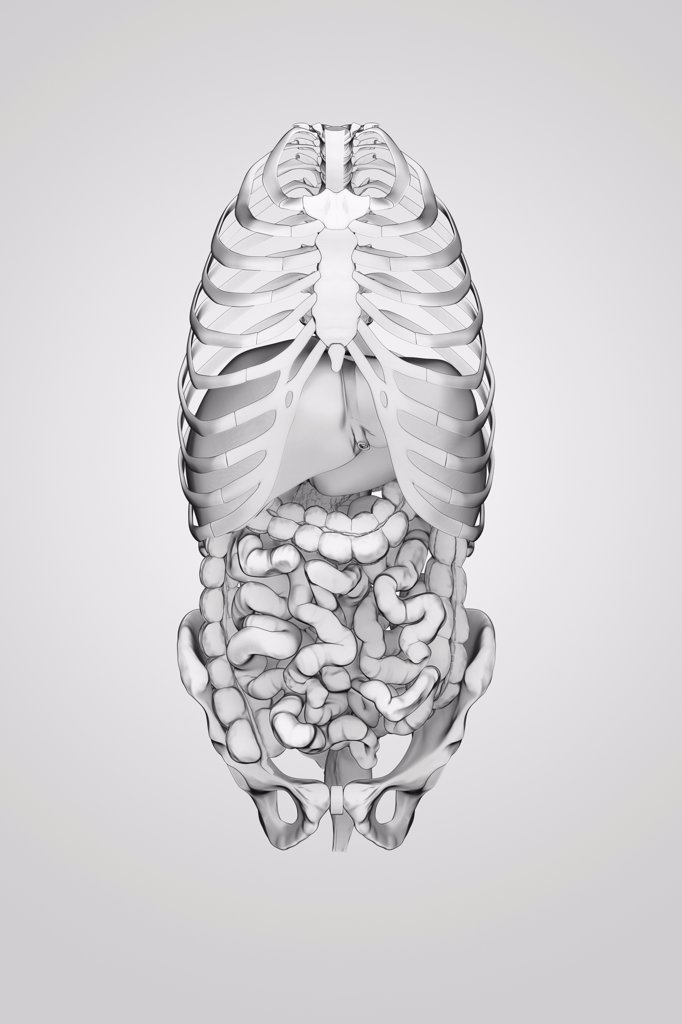 Stock Photo: 4378-3992 Organs of the digestive system within the bones of the torso viewed from a front view.