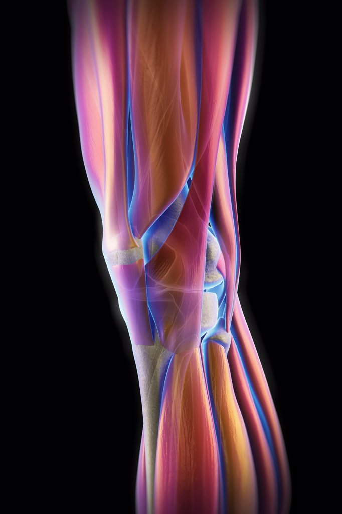 Stock Photo: 4378-4015 The muscles of the left knee, which are transparent revealing the skeletal structures beneath. The bones have an X-ray appearance.