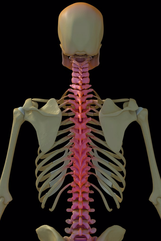 Stock Photo: 4378-447 Rear three quarter view of the bones of the male upper body. The spine is highlighted with a pink overlay.