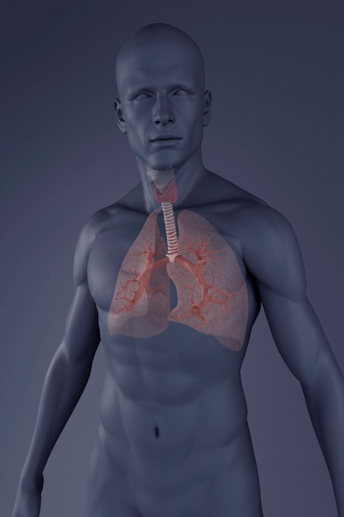 Stock Photo: 4378-453 Gray scale male figure with the respiratory system. The lungs are faded to reveal the bronchioles.