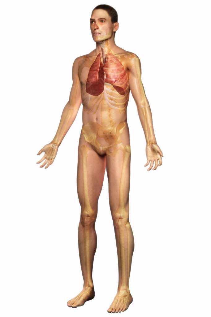 Stock Photo: 4378-538 Three-quarter full body view of the male skin, skeleton and respiratory system.