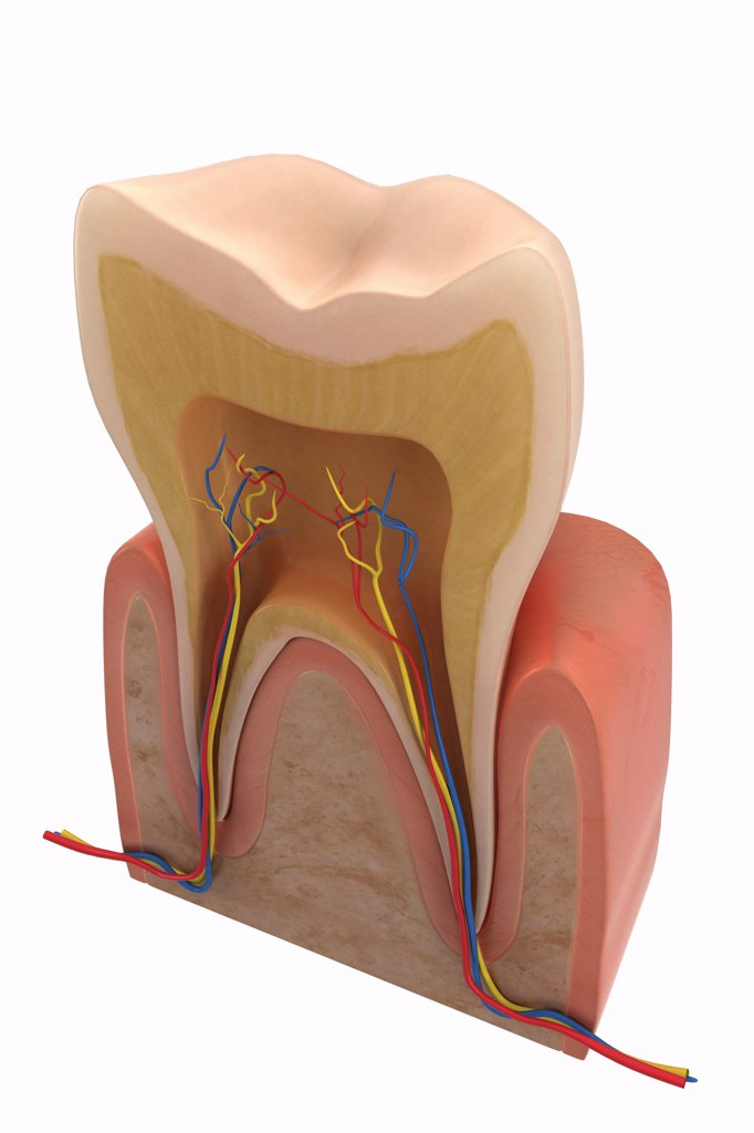 Cross-section of an adult human molar tooth. : Stock Photo