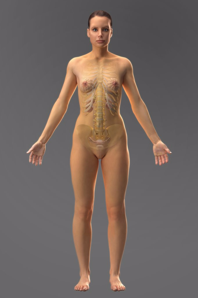 Stock Photo: 4378-755 The urinary system (female) within the body viewed from the front. The skeleton is also present.