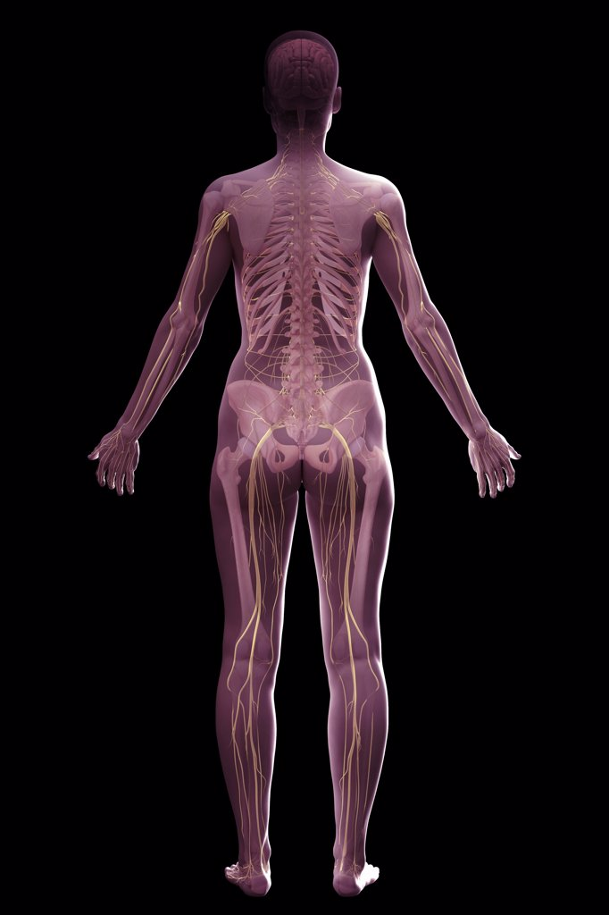 Stock Photo: 4378-756 The nervous and skeletal systems (female) of the full body viewed from the rear.