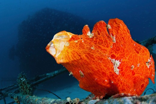 Stock Photo: 4379-1025 Orange Giant Frogfish, Antennarius commersoni, yawning sequence, The Maldives.