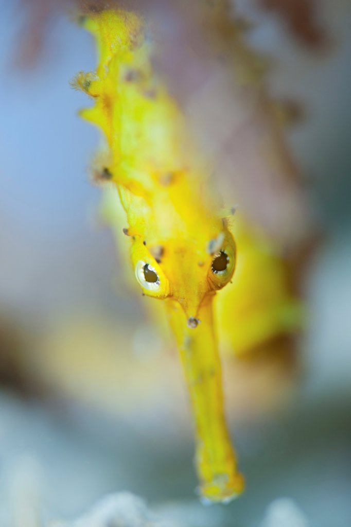 Portrait of Yellow Thorny Seahorse : Stock Photo