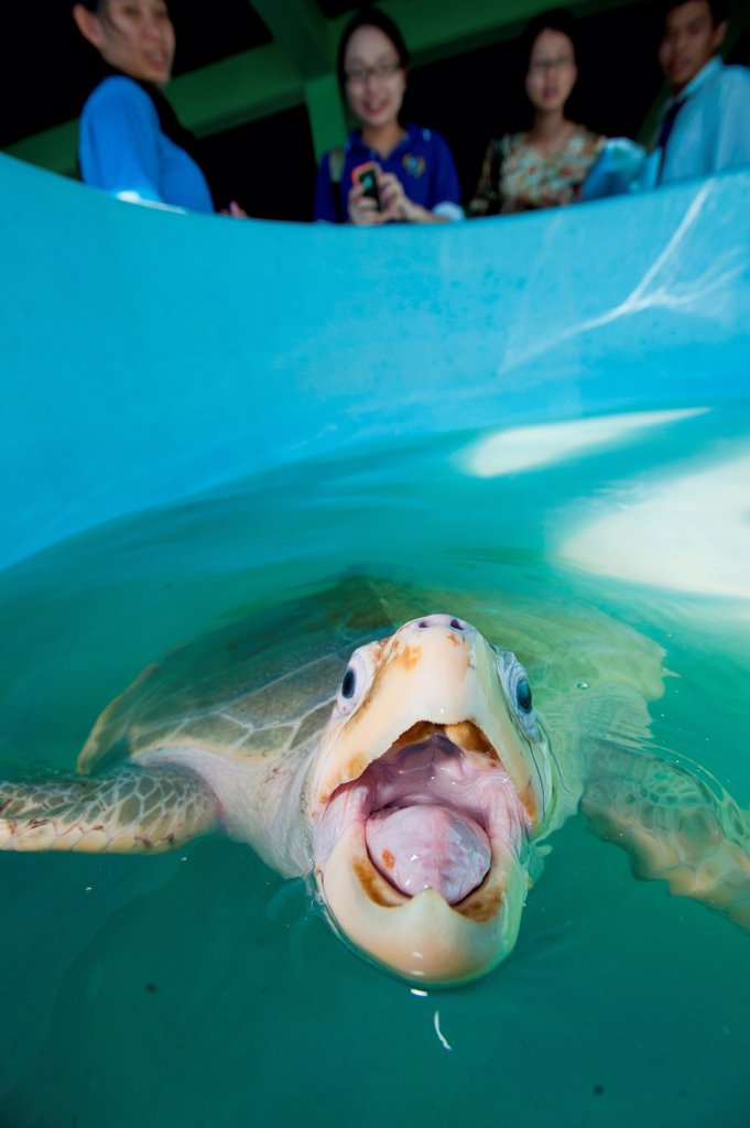 Stock Photo: 4379-1526 Olive Ridley Sea turtle (Lepidochelys olivacea) at turtle Rearing and Rehabilitation Center, Brunei