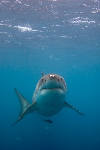 Stock Photo: 4379-177 Great White Shark
