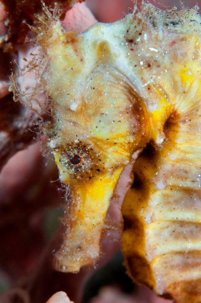 Close-up of a Spotted seahorse (Hippocampus kuda), Lembeh Strait, Sulawesi, Indonesia : Stock Photo
