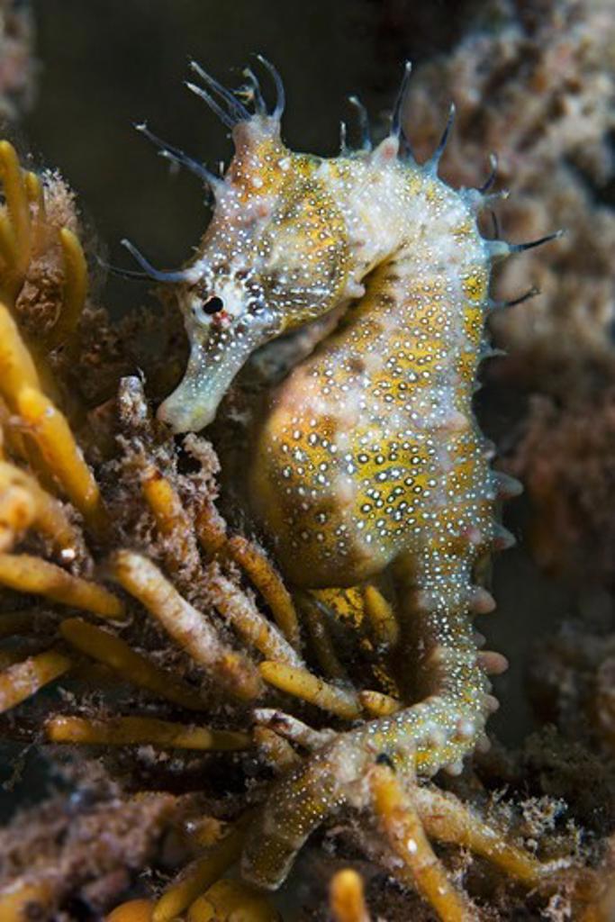 Stock Photo: 4379-196 Shorthead Seahorse
