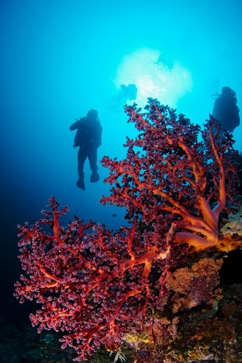 Stock Photo: 4379-427 A scarlet colored soft coral, Siphonogorgia sp., and divers, Sipadan Island, Sabah, Malaysia.