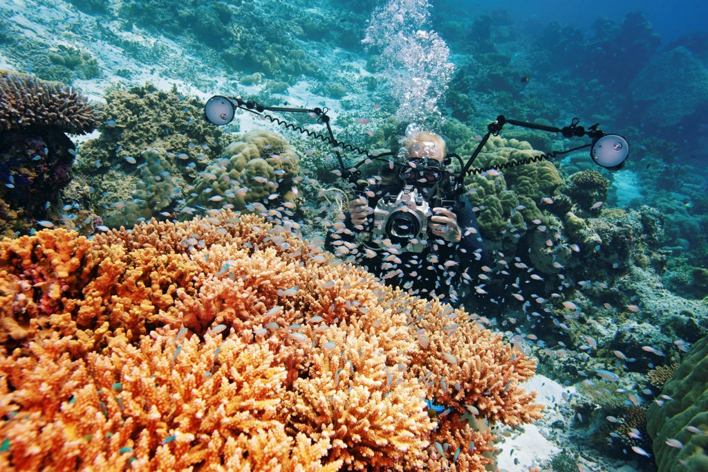 Stock Photo: 4379-690 A diver photographing a school of blue puller (Chromis viridis), also known as a green chromis or blue-green chromis, on elkhorn (Acropora sp.) hard coral, Felidhu Atoll, Maldives.