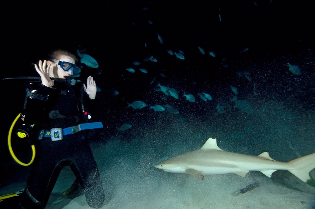 A blacktip reef shark (Carcharhinus melanopterus) approaches a terrified diver during a night dive, Felidhu Atoll, Maldives. : Stock Photo