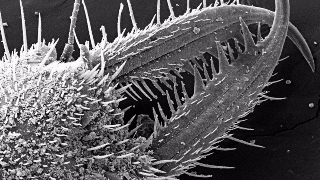 Stock Photo: 4384-174 Under a low magnification of 79X, this scanning electron micrograph (SEM) revealed the ultrastructural features found on the ventral exoskeletal surface of this larval-staged antlion?s mandibles. This larva is sometimes referred to as a ?doodlebug?, because of the trails it leaves in the soft sand as it hunts for prey.  This arthropod undergoes dramatic morphologic changes when it metamorphoses into a beautiful flying antlion lacewing.These large mandibles are used to apprehend prey that unwitti