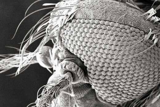 Stock Photo: 4384-402 Microscopic Detail of Mosquito's Head