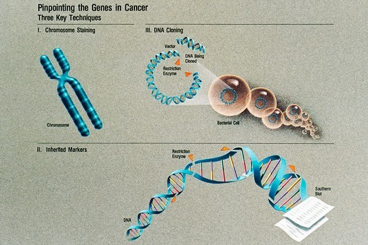 Stock Photo: 4391-158 An illustration shows techniques for locating the genes in cancer, including chromosome staining, DNA cloning, and inherited markers. Illustration by Jane Hurd.