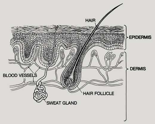 A Diagram Of Layers Of Human Skin The Two Main Layers Are The