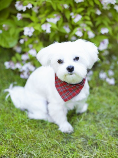 Stock Photo: 4400R-1090 A puppy, Sweden.