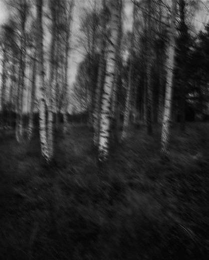 Stock Photo: 4400R-1280 Birch trees, blurred.
