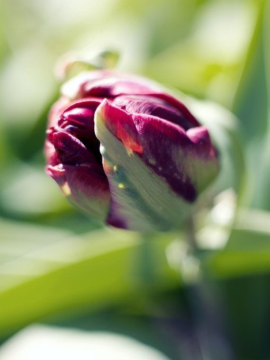 Stock Photo: 4400R-1798 A tulip, close-up, Sweden.