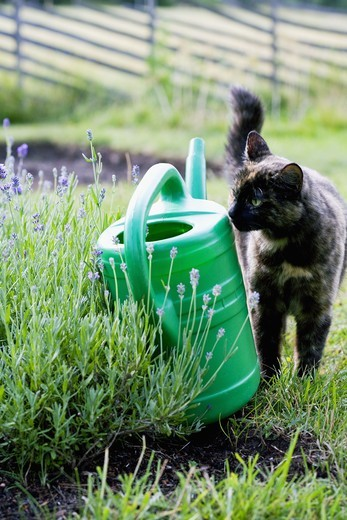 A cat, a water jug and a border of lavender, Sweden. : Stock Photo