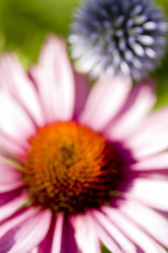 Stock Photo: 4400R-2895 Red coneflower and Echinops sphaerocephalus, close-up, Sweden.