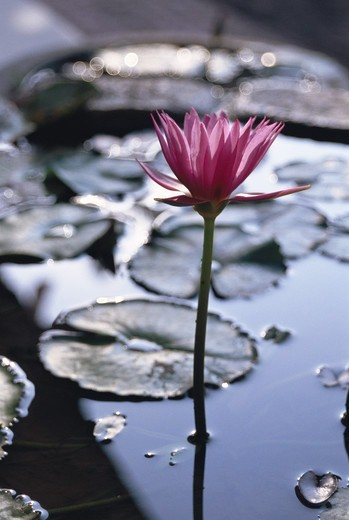 A water lily. : Stock Photo