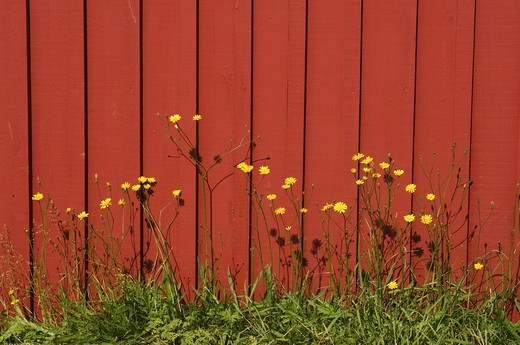 Hawkweeds against a red wall, Sweden. : Stock Photo