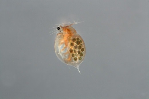 Stock Photo: 4401R-10394 Water flea, close-up, Sweden.