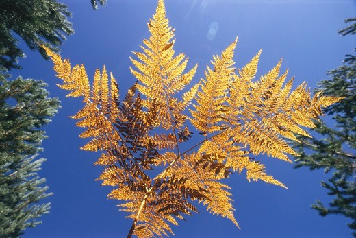 Autumnal fern, Sweden. : Stock Photo
