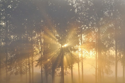 Stock Photo: 4401R-10532 Sunrise in forest, Sweden.