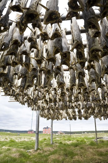 Stock Photo: 4401R-10672 Fish drying on stand, Norway.