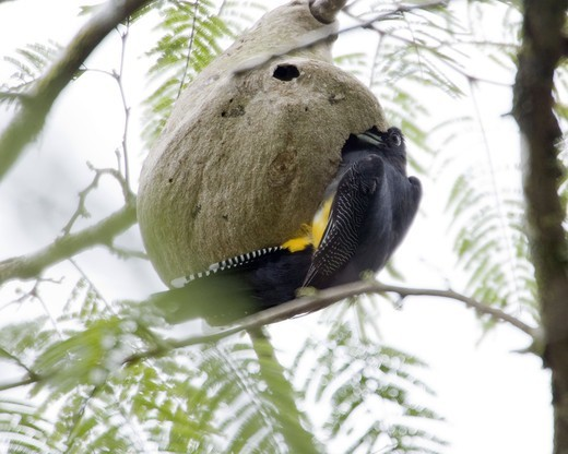 Violaceous Trogon entering a wasp''s nest, Costa Rica. : Stock Photo
